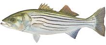 Изображение рыбы Лаврак полосатый