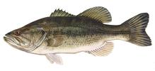 Изображение рыбы Басс большеротый