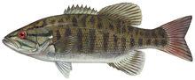 Изображение рыбы Басс малоротый
