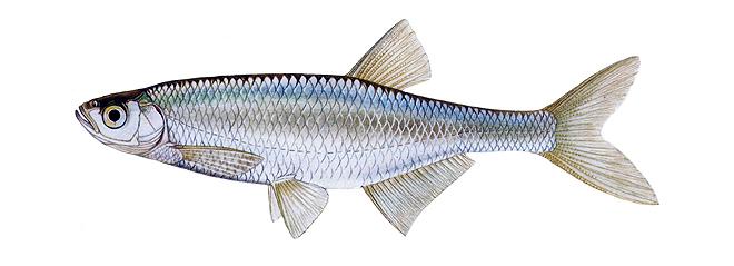 Изображение рыбы Уклейка