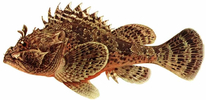 Изображение рыбы Ёрш-скорпена черноморский