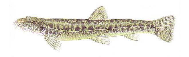 Изображение рыбы Голец усатый