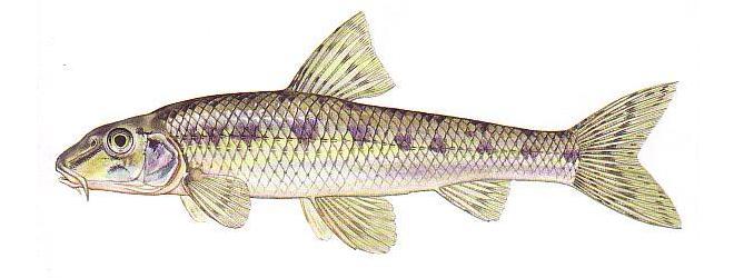 Изображение рыбы Пескарь обыкновенный