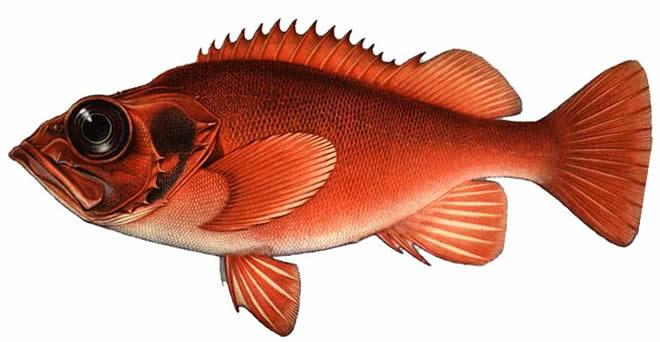 Изображение рыбы Морской окунь золотистый