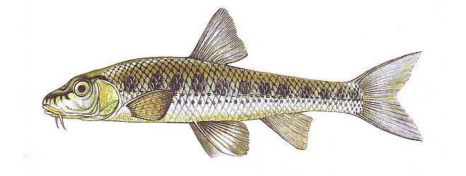 Изображение рыбы Пескарь белоперый