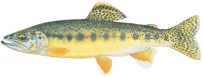 Изображение рыбы Форель золотая мексиканская