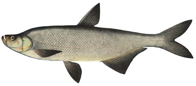 Изображение рыбы Верхогляд