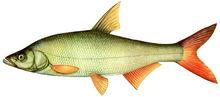 Изображение рыбы Краснопёр монгольский