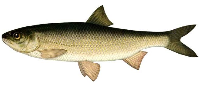 Изображение рыбы Кутум