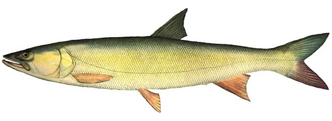 Изображение рыбы Желтощёк