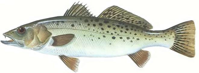 Изображение рыбы Лаврак пятнистый