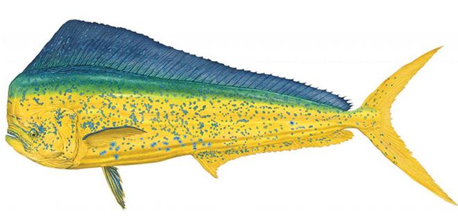 Изображение рыбы Корифена большая