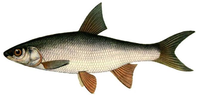 Изображение рыбы Подуст