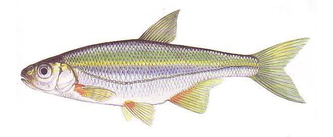 Изображение рыбы Быстрянка