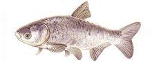 Изображение рыбы Толстолоб пестрый