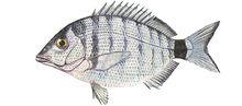 Изображение рыбы Зубарь обыкновенный