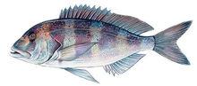 Изображение рыбы Зубан