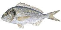 Изображение рыбы Спар золотой