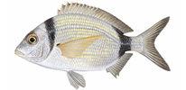Изображение рыбы Клюворыл