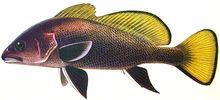 Изображение рыбы Горбыль темный