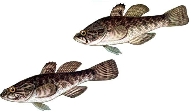 Рыба ротан изображение