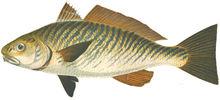 Изображение рыбы Горбыль светлый