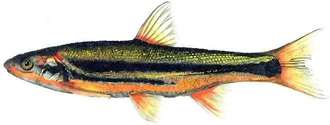 Изображение рыбы Угай крупночешуйный