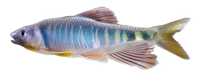 Изображение рыбы Закко обыкновенный