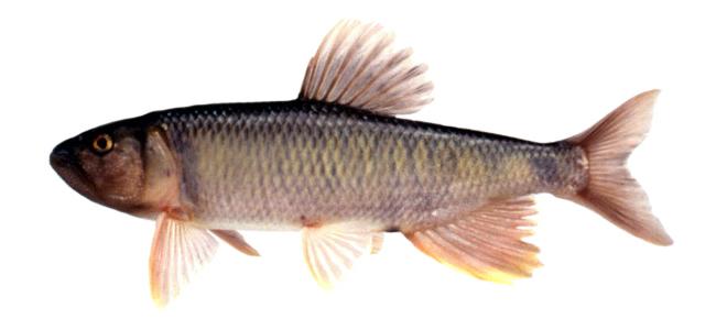 Изображение рыбы Троегуб