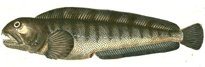 Изображение рыбы Зубатка полосатая