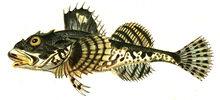 Изображение рыбы Керчак европейский