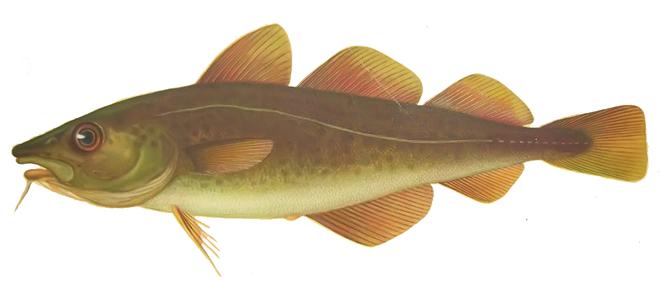Изображение рыбы Треска беломорская