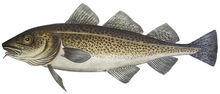 Изображение рыбы Треска атлантическая