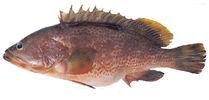Изображение рыбы Группер краснопятнистый