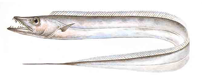 Изображение рыбы Волосохвост