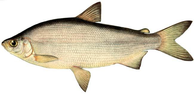 Изображение рыбы Пелядь