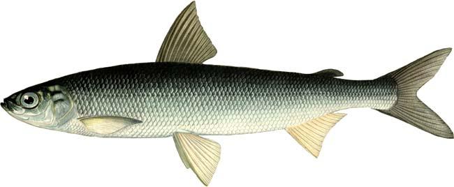 Изображение рыбы Рипус