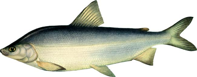 Изображение рыбы Муксун