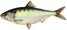 Изображение рыбы Пузанок