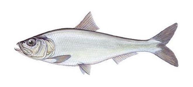 Изображение рыбы Тюлька абрауская