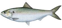 Изображение рыбы Шэд
