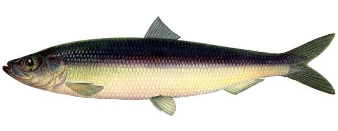 Изображение рыбы Сельдь атлантическая