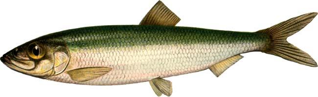 Изображение рыбы Салака