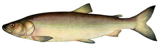 Изображение рыбы Нельма