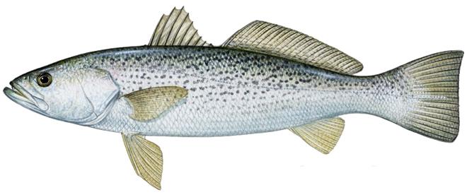 Изображение рыбы Горбыль серый