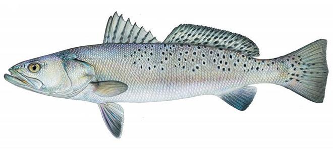 Изображение рыбы Горбыль пятнистый
