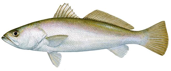Изображение рыбы Горбыль песчаный
