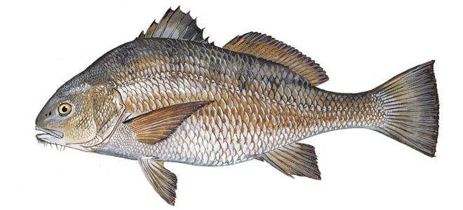 Изображение рыбы Горбыль черный