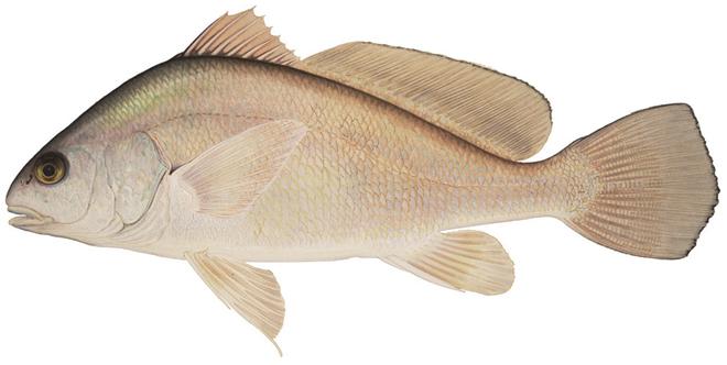 Изображение рыбы Горбыль пресноводный