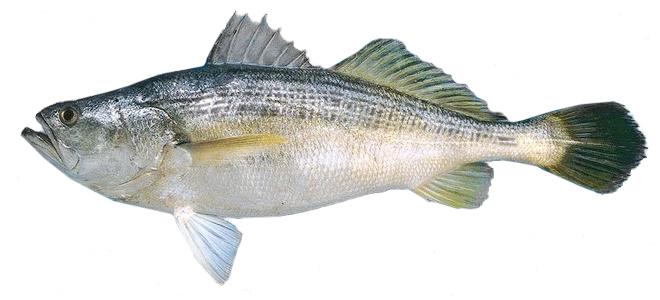 Изображение рыбы Горбыль полосатый